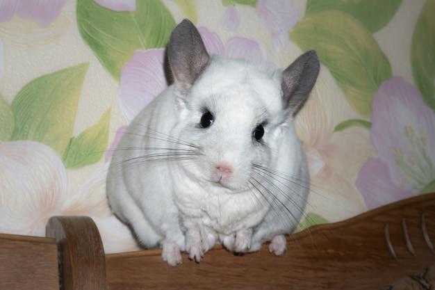 흰색 친칠라가 창 근처에 앉아 있습니다. 귀여운 집 애완 동물.