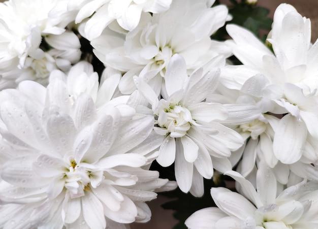 꽃밭이나 온실에 흰 국화 꽃이 핀다.