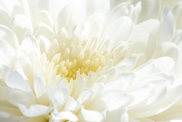 White chrysanthemum flowers close up