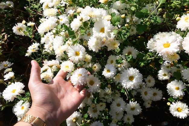 White chrysanthemum flowers  with green leaves on the tree