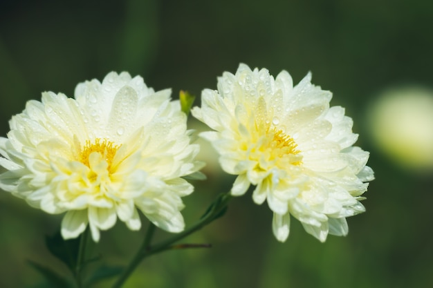 White chrysanthemum flowers with yellow pollen and morning sunlight in organic garden.