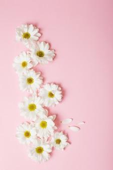 분홍색 종이 표면에 흰 국화