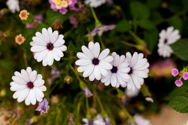 Белые хризантемы, растущие в саду, цветы в саду