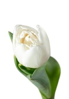 하얀. 아름 다운 신선한 튤립 흰색 배경에 고립의 닫습니다. 귀하의 광고를위한 copyspace입니다. 유기농, 꽃, 봄 무드, 부드럽고 깊은 꽃잎과 잎의 색상. 훌륭하고 영광 스럽습니다.