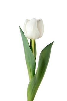 白い。白い背景に分離された美しい新鮮なチューリップのクローズ アップ。広告用の copyspace。オーガニック、フラワー、春のムード、花びらや葉の優しく深みのある色。壮麗で荘厳。