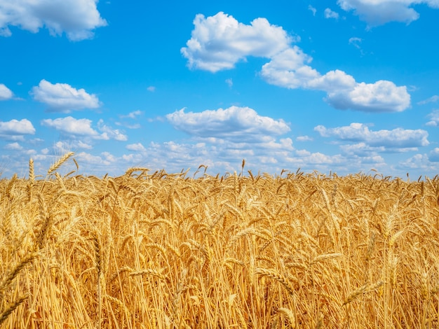 White clouds in the blue sky above ears of wheat in the field. harvest of ripe cereals on a sunny summer day.