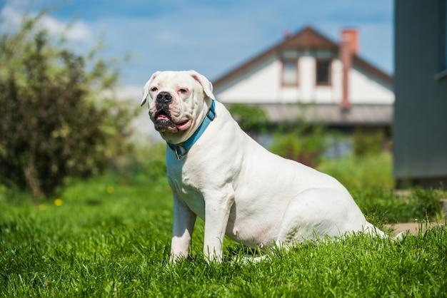 Белое пальто собака американский бульдог охраняет дом