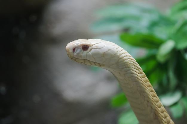 A white cobra looking through the glass closet in the zoo