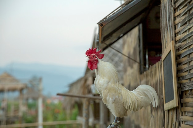 White cock and hen, in bamboo house.
