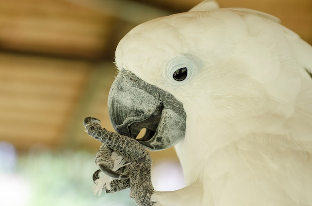 White cockatoo background blur