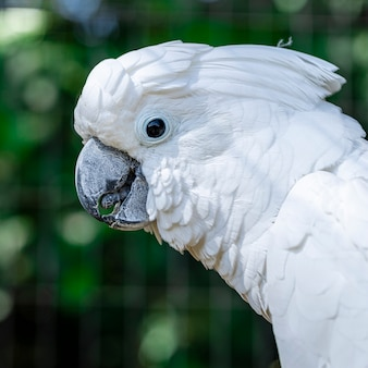 The white cockatoo (cacatua alba), also known as the umbrella cockatoo, is a medium-sized all-white cockatoo endemic to tropical rainforest on islands of indonesia.