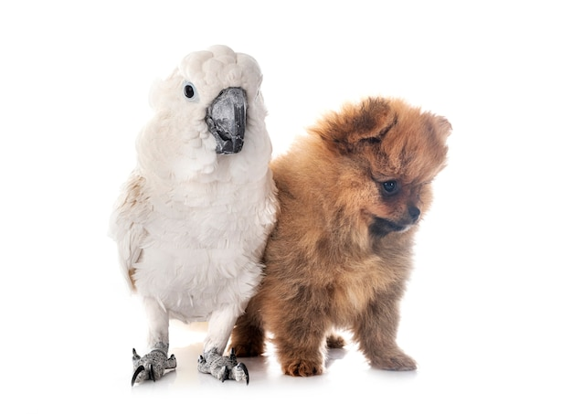 White cockatoo and spitz isolated on white