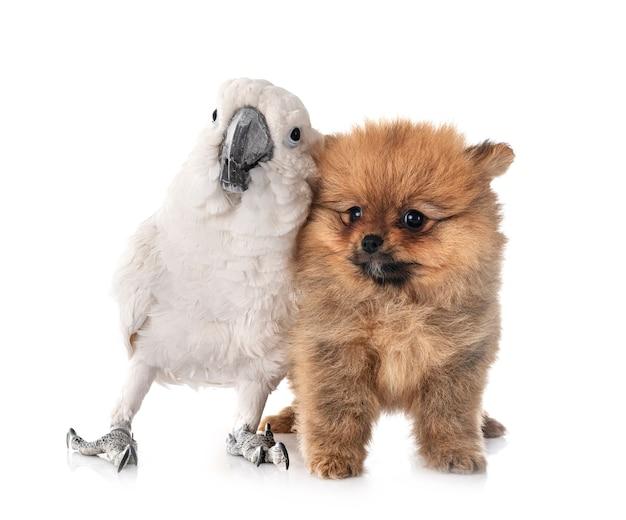 White cockatoo and spitz