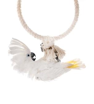 White cockatoo in studio