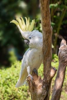 White cockatoo on a tree log