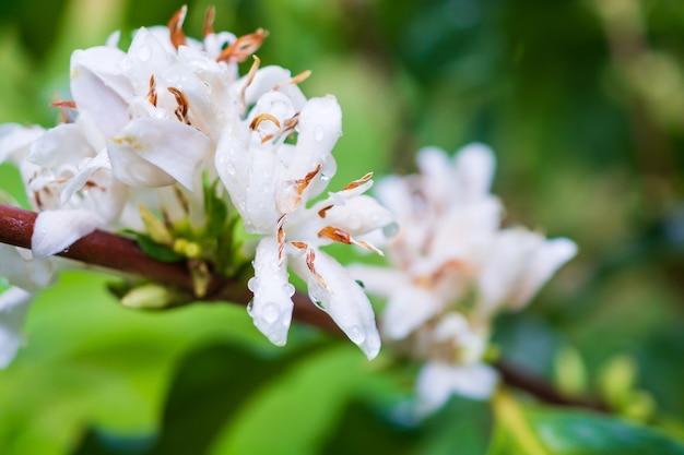 Белые кофейные цветы на плантации деревьев с зелеными листьями крупным планом