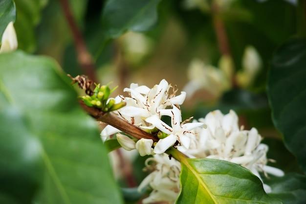 녹색 잎 나무 농장에서 화이트 커피 꽃 가까이