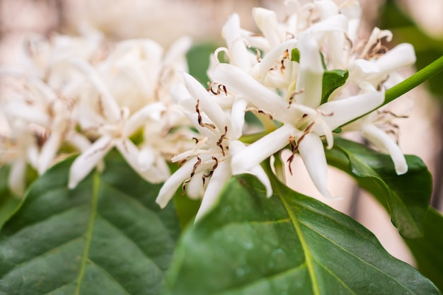 葉のあるプランテーションの白いコーヒーの花