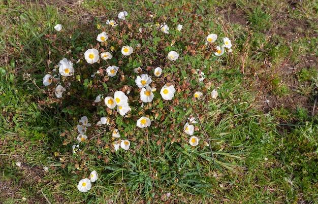 Белые цветки растения, называемого мавританским ягзом или черной каменной розой.