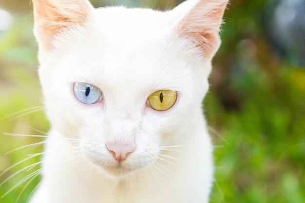 White colour thai cat with 2 different colored eyes, heterochromia iridum