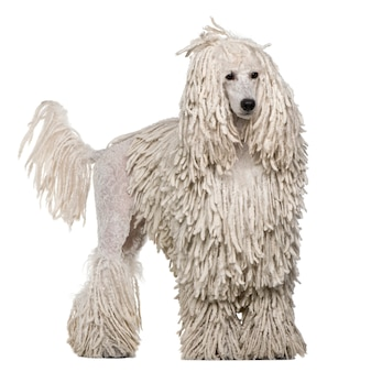 White corded standard poodle. dog portrait isolated