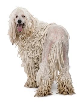 Белый пудель стандартный пудель. портрет собаки изолированный