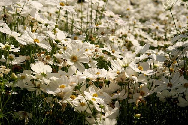 White cosmos flower field in the garden