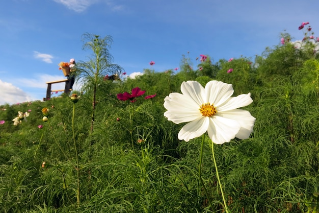 A white cosmos flower in full bloom and its green leaves in the garden