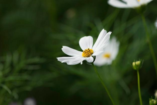 화이트 코스모스 꽃