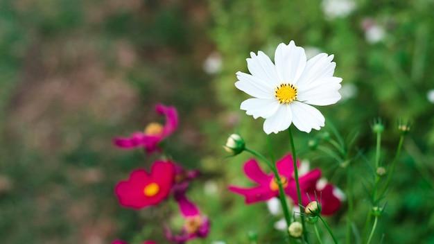 White cosmos flowers in graden