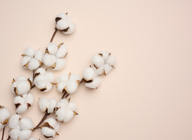 White cotton flower on pastel beige paper background, overhead. minimalism flat lay composition, copy space