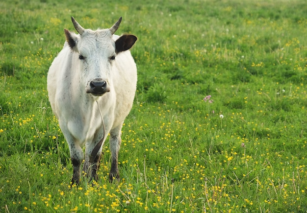 White cow on green grass, summer