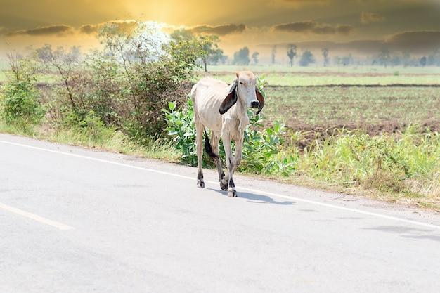 Белая корова на горном пастбище идет по обочине дороги