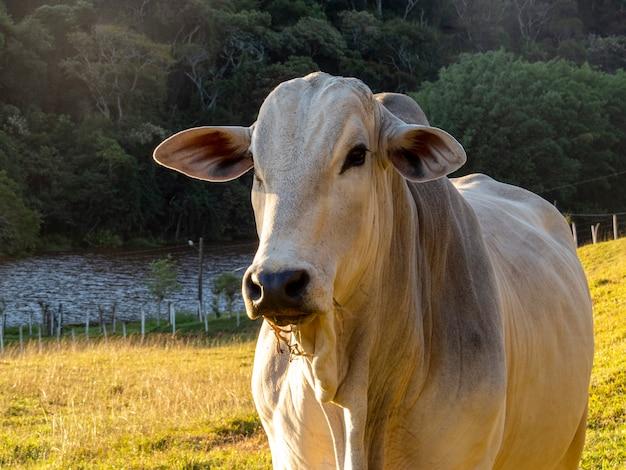 牧草地の白い牛