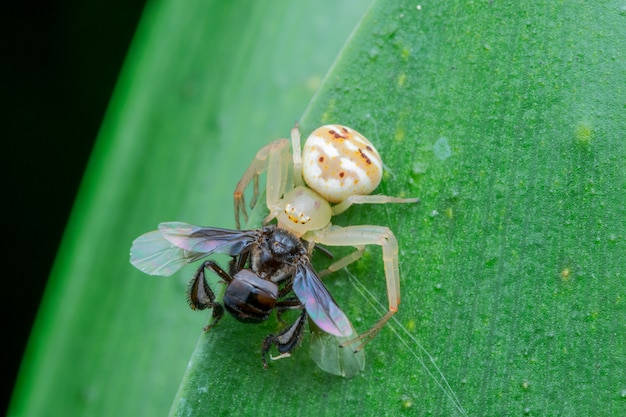 White crab spider eating insect nature macro