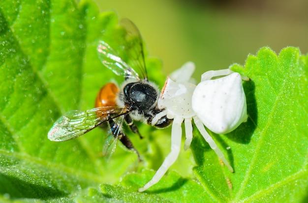 Белый крабовый паук имеет почти полупрозрачную голову и ноги, ловит пчел и ест