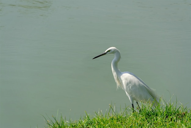 White crane bird standing by the pool