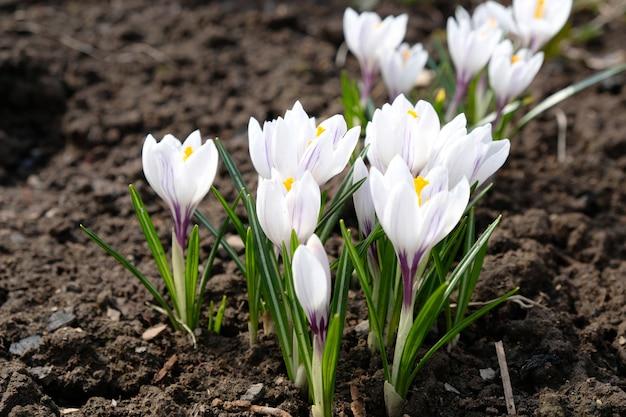 青い背景に白いクロッカスの花。春の花、最初の花