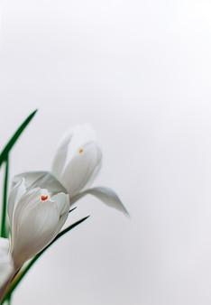 白い背景に白いクロッカスの花