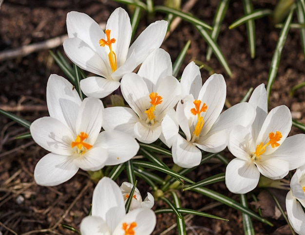 White crocuses germinate in the spring in the garden