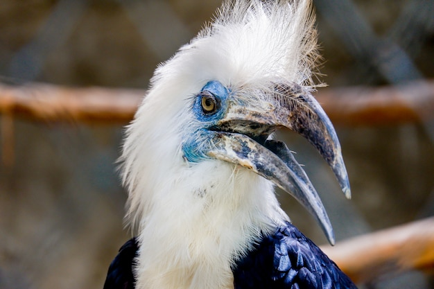 White-crowned hornbill bird