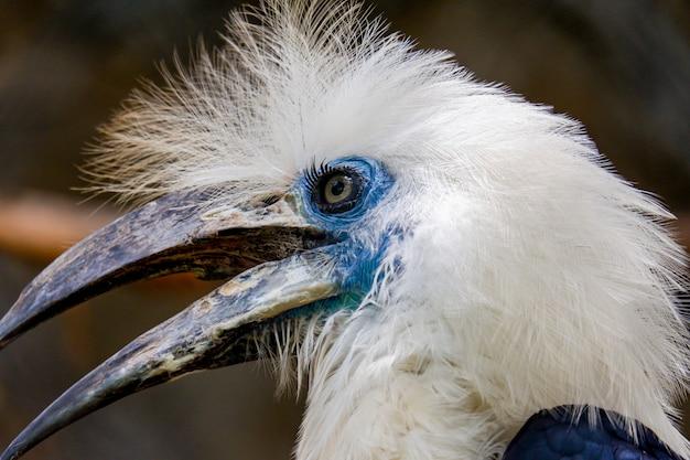 白戴冠サイチョウ鳥