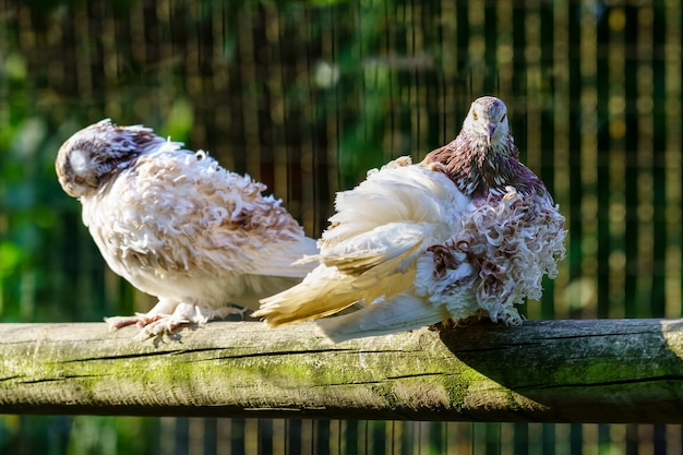 White curly feathered pigeons resting on a stick.
