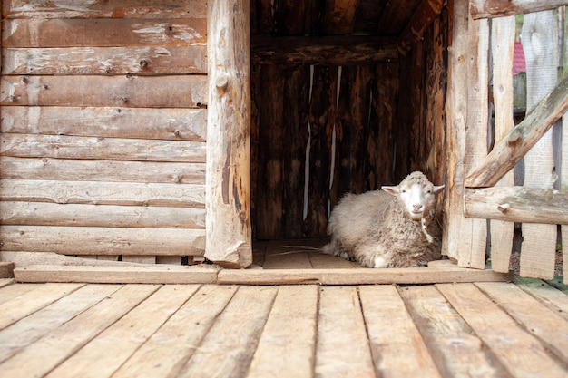 A white curly-haired sheep in a wooden pen in the countryside. sheep breeding. housekeeping.