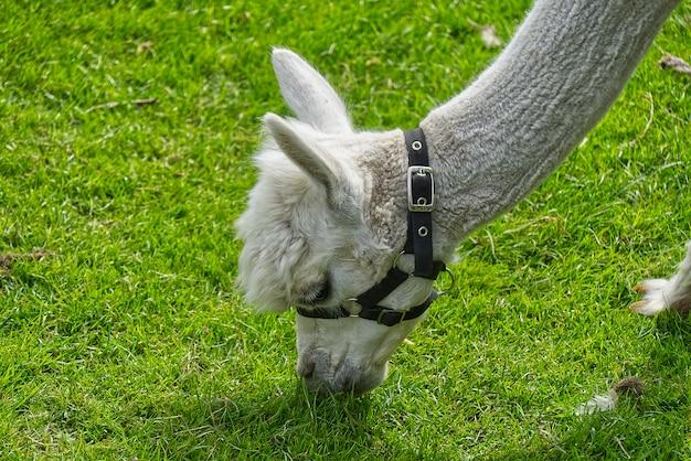 Белая милая альпака в поле зеленой травы в солнечный летний день.