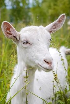 Белый милый ребенок коза в зеленой траве крупным планом