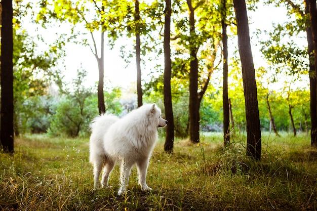 Белая милая собака гуляя в парк на заходе солнца.