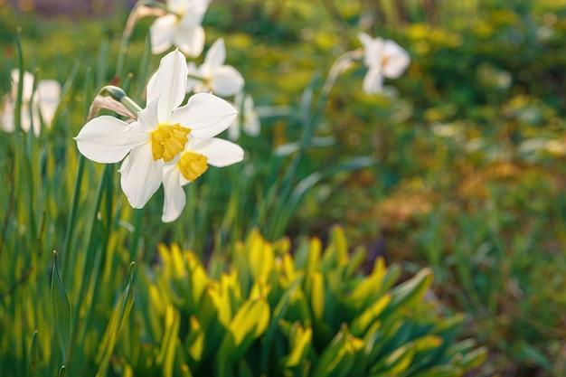 庭の白い水仙の花