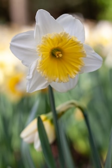 White daffodil with yellow center blooming in spring