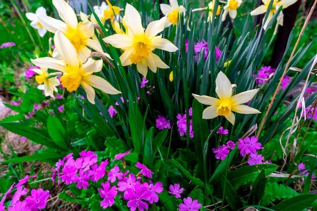 庭の花壇に白い水仙とライラックの小さな花